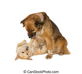Two family dogs playing - Two family dogs, a jack russel...