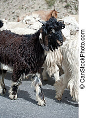 Black kashmir (pashmina) goat from Indian highland farm in...