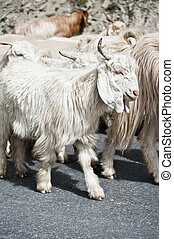 White kashmir pashmina goat from Indian highland farm in...