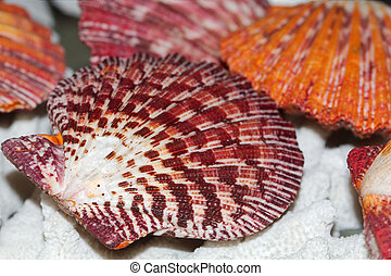 Royal scallop shell, famaly Pectinida, lat Cryptopecten...