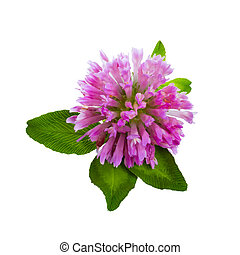 Clover flower isolated on white