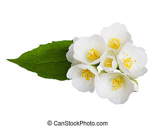 Jasmine flowers isolated on white