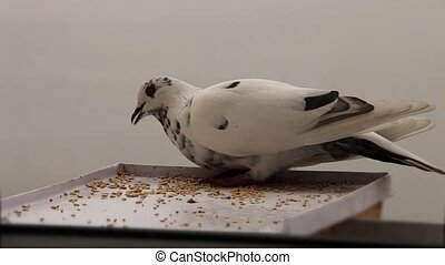 white Dove - pigeon pecks grain on feeding trough