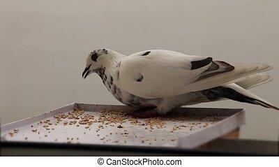 white Dove - pigeon pecks grain on feeding trough