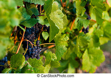 Red rapes growing - Red grapes on the vine in a sunny...