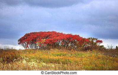 otoño, arbusto, rojo