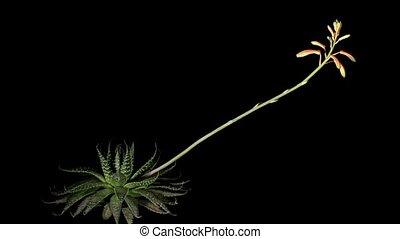 Flowering Aloe on the black background (Aloe aristata....