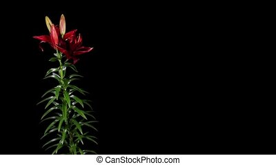 Blooming burgundy lily on the black background L purple...