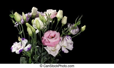 Blooming colorful eustoma on the black background Eustoma...