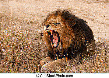 Yawning lion near Kruger National Park, Hoedspruit, South...