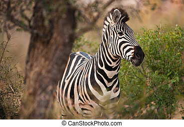 Plains zebra (Equus quagga) munching on grass, South Africa