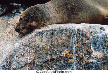 Galapagos sea lion (Zalophus wollebaeki) sleeping on rock