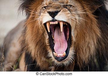 enojado, rugido, león