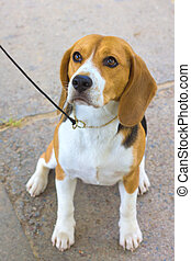 dog Beagle breed sitting on the green grass