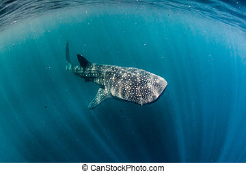 whale shark in the bay