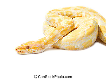 Gold Python,Abino snake on white background
