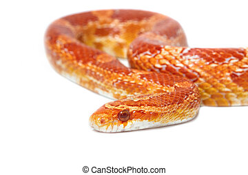 Albino corn snake on white background