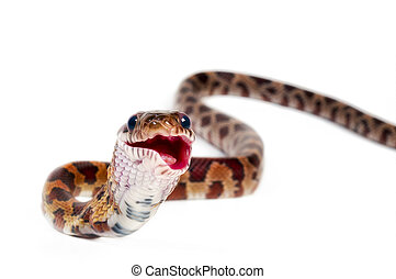 Corn Snake eating pinkie on white background