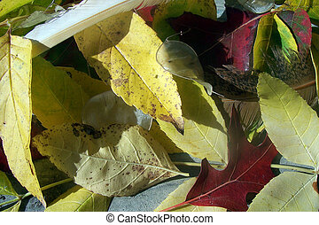 Autum Leaves - Autum or Fall Leaves laying on the ground