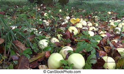autumn apples in old farm garden