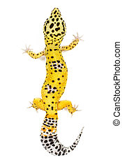 Leopard Gecko - Leopard gecko on white background