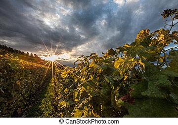 Swiss Vineyard - Vineyards at Lavaux, Switzerland during...