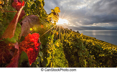 Swiss Vineyard - Vineyards at Lavaux, Switzerland during...