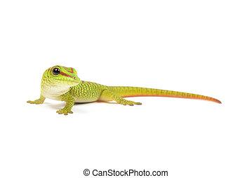Madagascar Day Gecko - Madagascar day gecko on white...