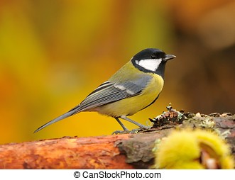 Great tit. - Parus major in the forest an autumn day.