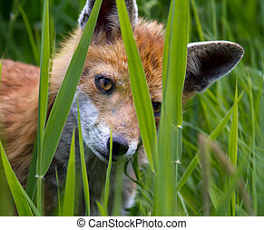 Fox Cub peering through long grass