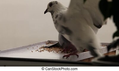 greedy pigeon - greedy dove drives away another pigeon from...