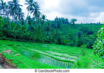 Landscape with Rice Field and Jungle, Bali - Landscape with...
