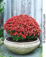 Fall Garden Mums Flowers in Planter - A beautiful display of...