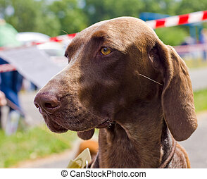 Close-up portrait of the dog Deutsch Kurzhaar breed, shallow...