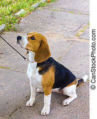 dog Beagle breed sits on the green grass in the summer