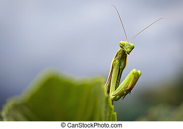 Praying mantis - Macro portrait of praying mantis hiding...