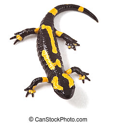 poisonous animal fire salamander with bright yellow orange...