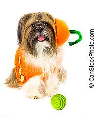 Dog in a Pumpkin Costume - A pumpkin-costumed Shih Tzu,...