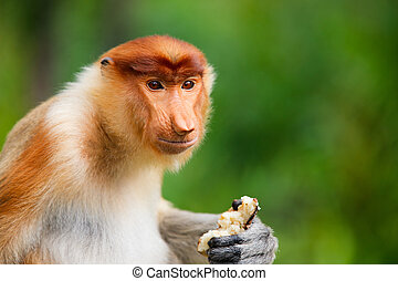 Proboscis monkey - Young male proboscis monkey on Borneo...