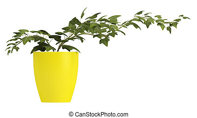 Ivy growing in a yellow pot - Ivy plant growing in a...
