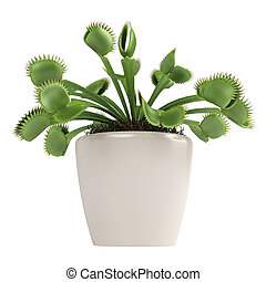 Venus Flytrap, Dionaea muscipula, which is a carnivorous...