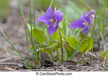 Beautiful spring violet flower  in spring grass