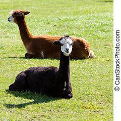 Brown and black Alpacas