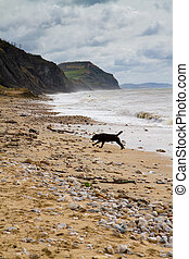 Blaxck Labrador on Charmouth beach - Charmouth beach in...