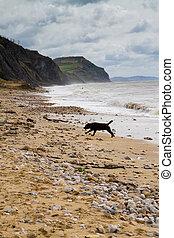 Blaxck Labrador on Charmouth beach - Charmouth beach in...