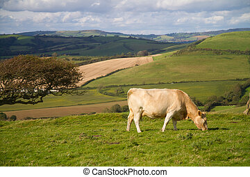Cow grazing in Dorset countryside - Cow grazing in Dorset...