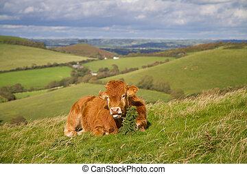 Cow grazing in Dorset field - Brown cow grazing in Dorset...