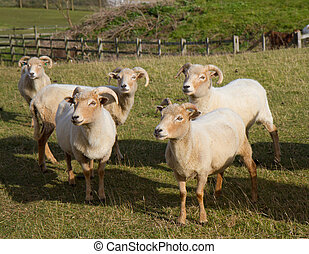 Portland sheep, a very rare breed from the Isle of Portland...