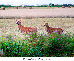 Red deer in a Somerset field at during harvest