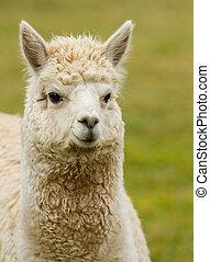 Alpaca portrait. An alpaca resembles a small llama in...